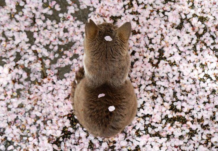 桜の花びらが積もった猫