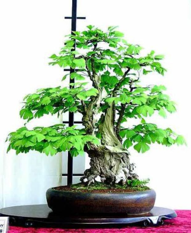 Ginkgo (Maidenhair) 5 Tree Seeds, Great for Penjing and Bonsai