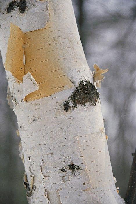 close+up+of+a+birch+tree | Close-up Of The Bark Of A Birch Tree Photograph by Vlad Kharitonov ...