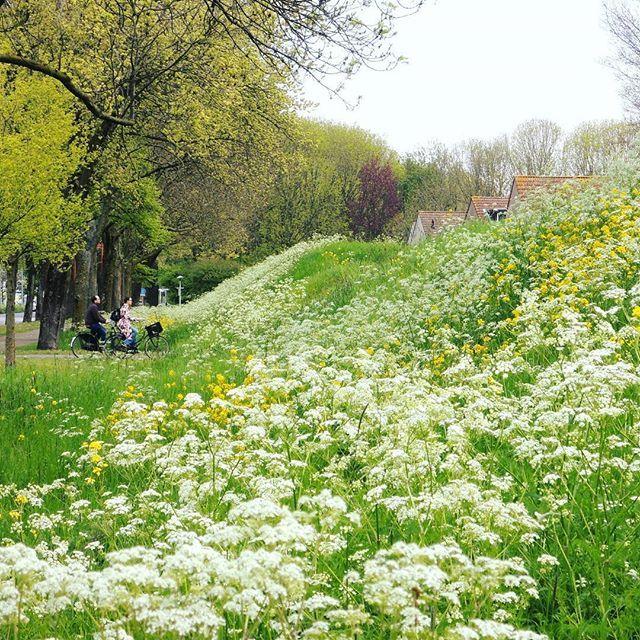 Mooi hè? De bloemenheuvel van de #klopvaart buurt bij #stadstuinklopvaart. 's Winters om vanaf te sleeën, maar zo is hij ook wel mooi #bloemen #lente #Overvecht #overvechtnoord