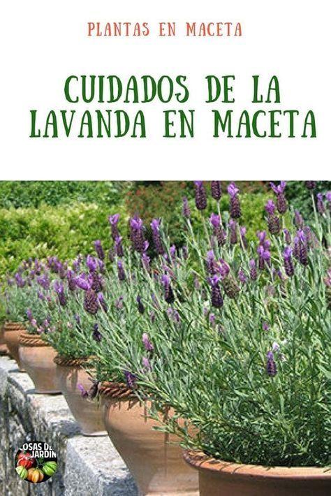 Cómo cultivar lavanda en maceta. Consejos y Cuidados
