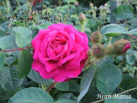 Henri Martin | Petrovic Roses