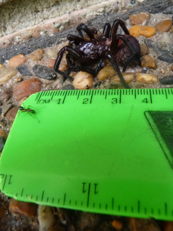 Sydney Funnel Web Spider, Atrax robustus. One of the top ten most venomous spiders.