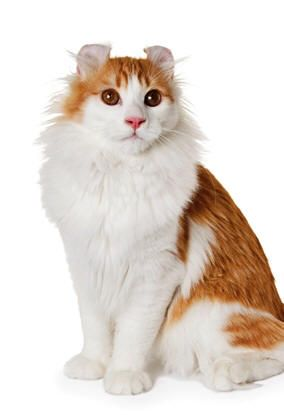 American Curl cat with it's unique cat ears