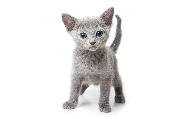 Hypoallergenic Cat Breeds (russian blue)