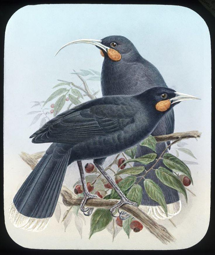 Huia birds, male and female. Harris, Esme, fl 1980-1981 : Photographs. Ref: PA11-046-11. Alexander Turnbull Library, Wellington, New Zealand.http://natlib.govt.nz/records/23081750
