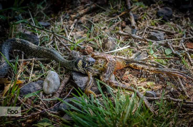 Grass snake get a frog by Marek Weisskopf on 500px