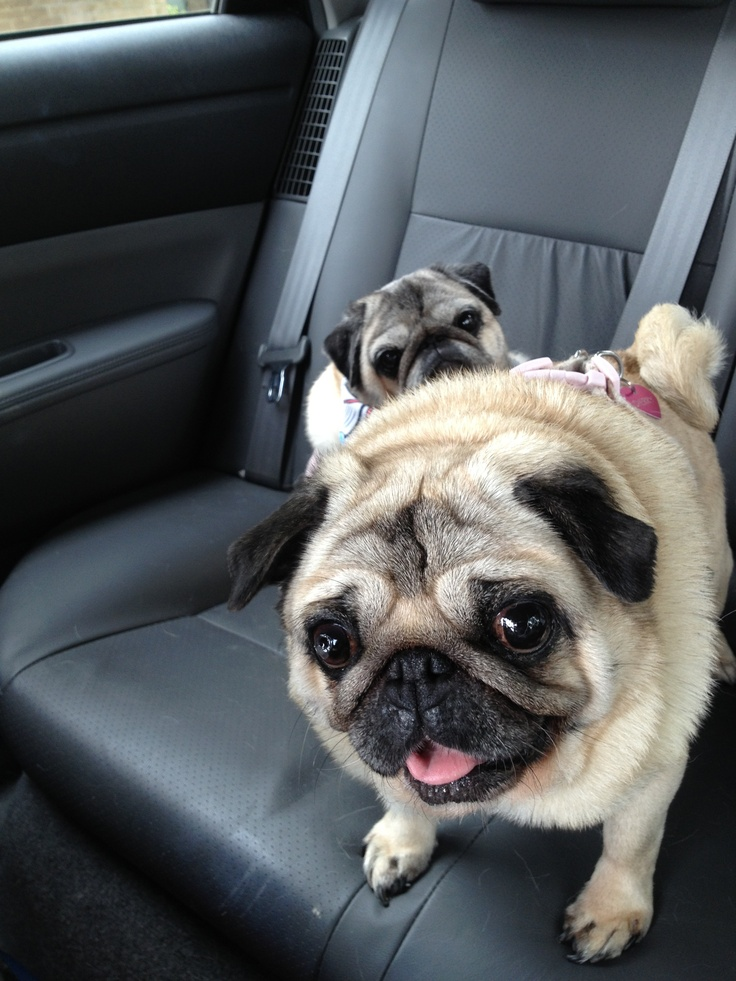 Pugs in the back seat