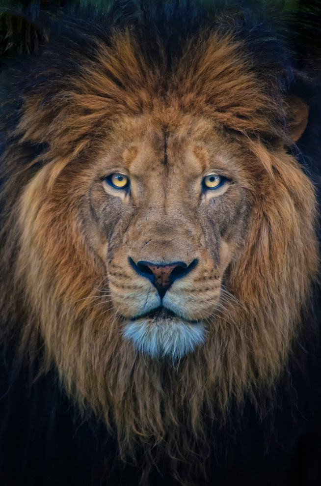 1221 best images about Lions on Pinterest | A lion, Africa ...