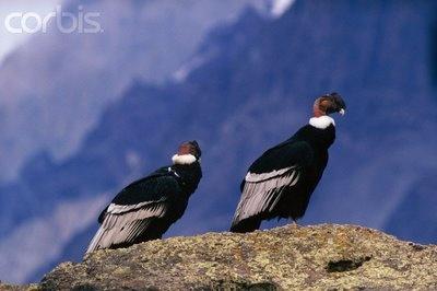 CONDOR ave nacional de Chile