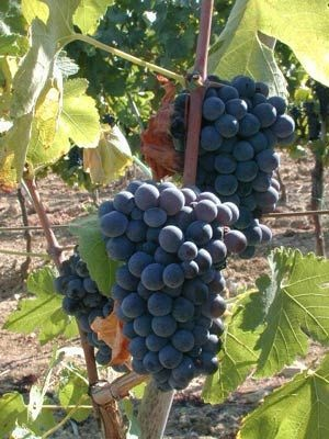 The Morellino di Scansano wine's popularity has grown significantly in the last ten years, although this fabulous red wine boasts far more antique origins.
