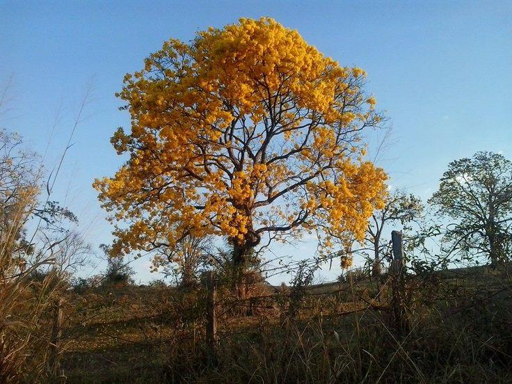 Ipê amarelo florido em Passos, estado de Minas Gerais, Brasil.  Fotografia: Miriani Lemos.
