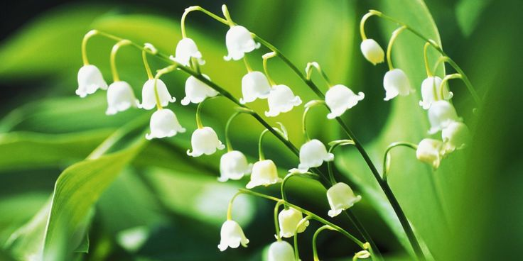 13 Things You Didn't Know About Lily of the Valley // #May baby flower-of-the-month & #Gemini floral representative