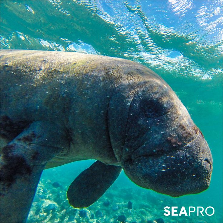 Manatees playing by kenblue88 (With images) | Manatee, Sea ... |Manatees Playing