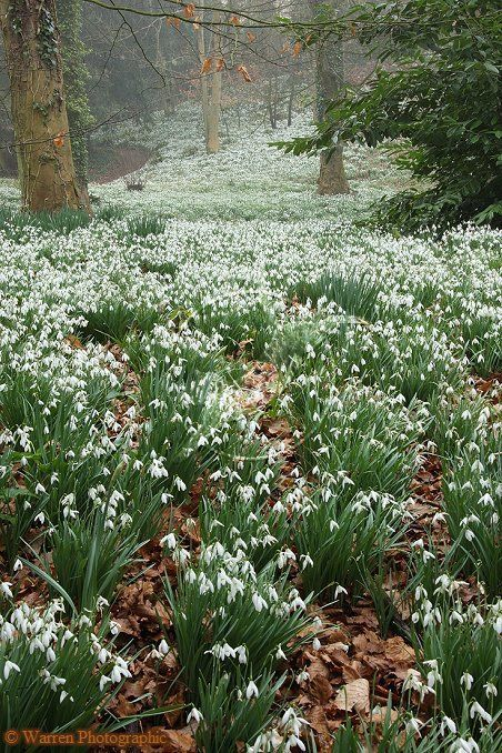 Forest with snowdrops (Galanthus nivalis) from …