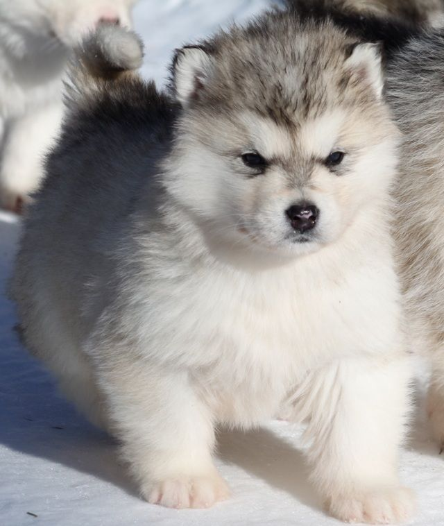 Ra 231 A De Cachorro Malamute Do Alasca Facilitando O Dia A Dia C 227 Es Fofos Cachorro Lobo E
