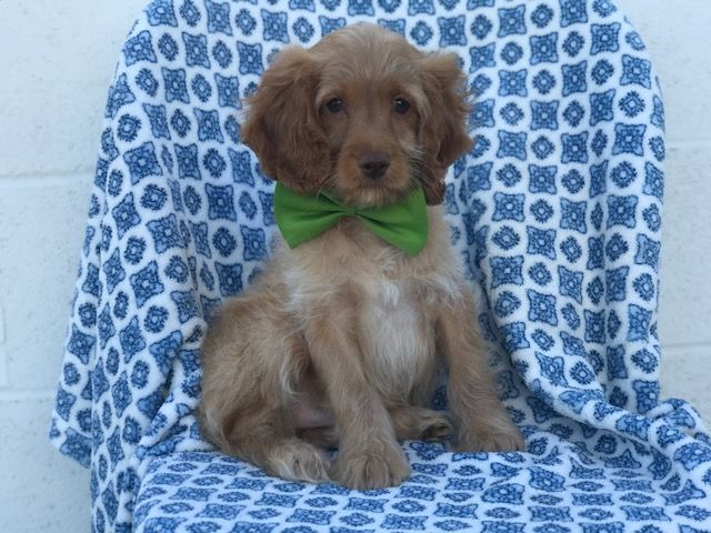 Cocker Spaniel-Poodle Miniature Mix Puppy For Sale In -5872