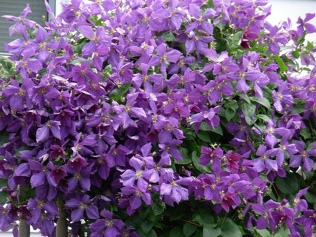 Climbing Flowering Vines | Recent Photos The Commons Getty Collection Galleries World Map App ...