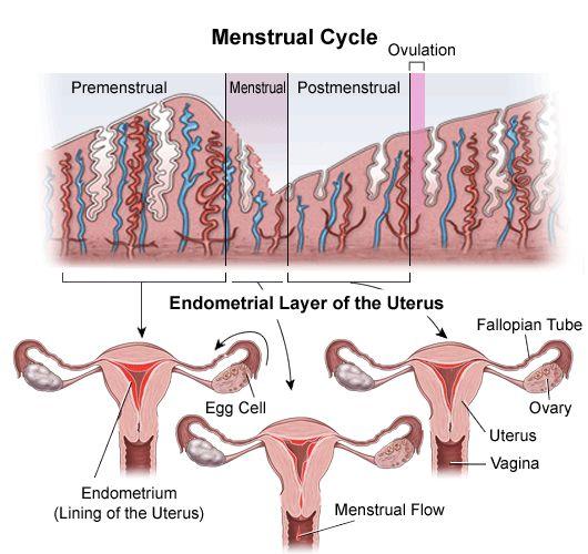 Endometrial Biopsy | Johns Hopkins Medicine Health Library