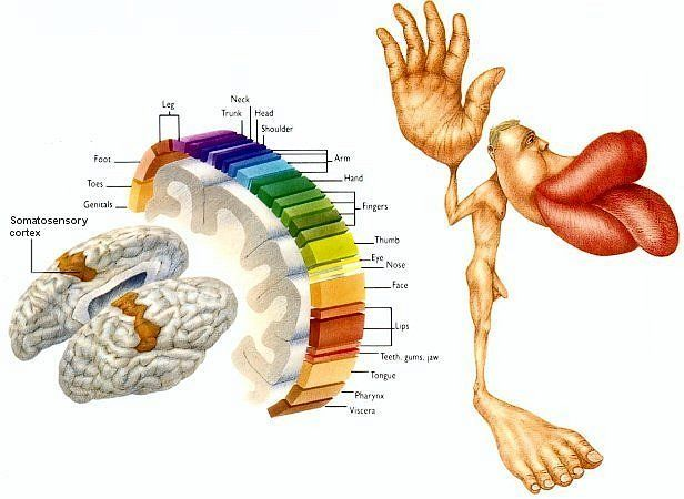 Homunculus we are hand and feet and mouth
