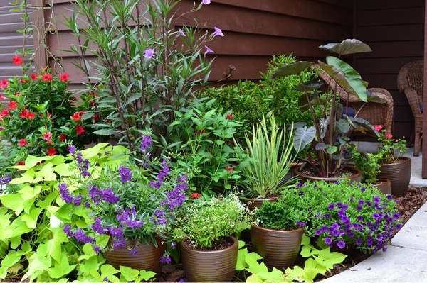 I love how the Ornamental Sweet Potato Vine flows over its planter and around the spaces between the pots.: Plants Can, Gardens Ideas, Pots Gardens, Container Gardens, Sweet Potatoes Vines, Front Flowers Beds, Ornaments Sweet, Popular Pin,  Flowerpot