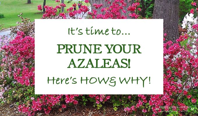 How, Why, & When to Prune Azaleas - Redeem Your Ground | RYGblog.com