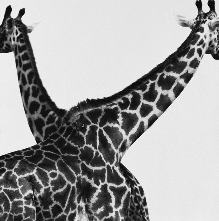 Herb Ritts (American, 1952-2002)Two Giraffes Crossed, Africa, 1993©Herb Ritts Foundation/Courtesy of Edywnn Houk Gallery