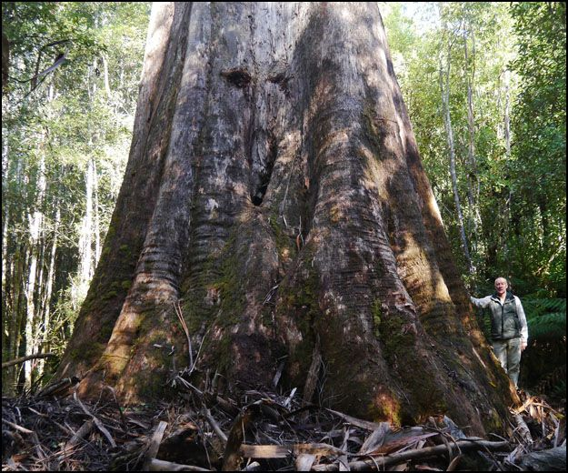 Largest Tree in Australia