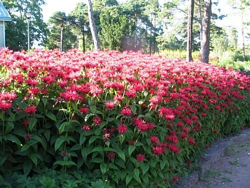 VÄRIMINTTU (Monarda didyma) KORKEUS: 30-100 cm lajikkeen mukaan KUKINTA-AIKA: heinä-elokuu KASVUPAIKKA: aurinkoinen, lievästi varjoinen TALVENKESTÄVYYS: melko kestävä KUKAN VÄRI: lila, punaisen eri sävyt KASVUALUSTA: kuiva, niukkahumuksinen ISTUTUSVÄLI: 30-40 cm Väriminttu viihtyy aurinkoisella tai puolivarjoisella kasvupaikalla. Se menestyy laihassakin maassa ja sietää jonkin verran kuivuutta. Taimet jaetaan muutaman vuoden välein keväällä. Väriminttu on hyvä leikkokukka.