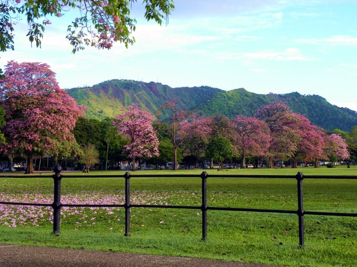 Poui trees in bloom around the Queens Park Savannah in ...