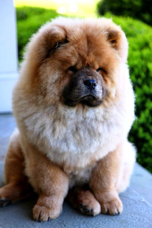 Top 10 Most Expensive dog breeds We always had 2-3 Chinese Chows our entire childhood! The females were mean when in heat! Loved the purple tongues, the male's were not as mean! We had 2 this color, a bloack one & I believe a blue one!