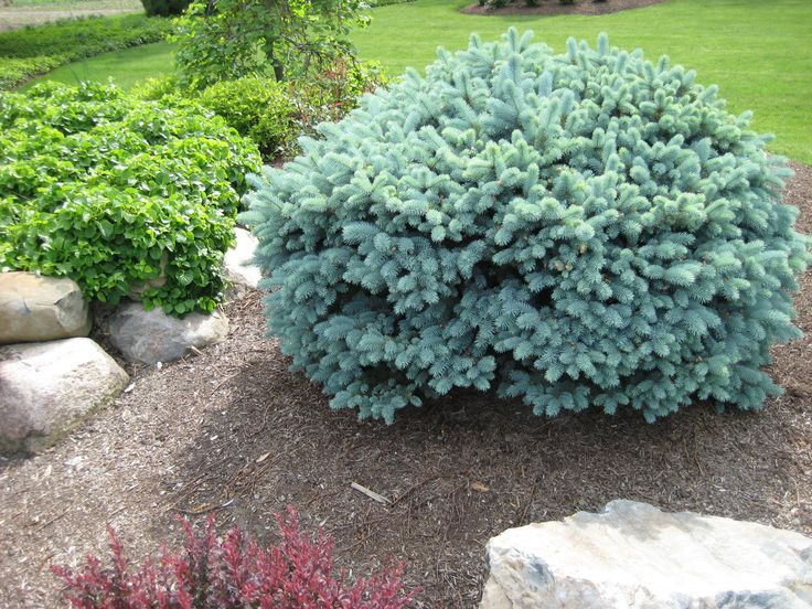 Blue Globe Spruce Fantastic Year Round Color Highly