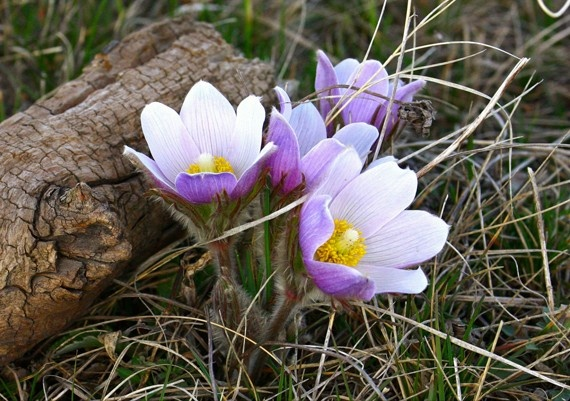 Our state flower, the pasque. | Beautiful South Dakota ... Rosa Arkansana