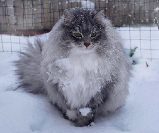 Siberian Cat, Astera Josephina Black silver mackerel tabby/white