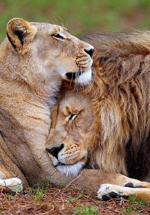 "Lions in Love ~ King & Queen lion, can you feel the love tonight! bigcatslions: "" Photography Roberto M."