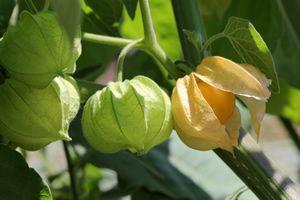 Physalis, Kapstachelbeere - Anbau, Pflege und Überwintern