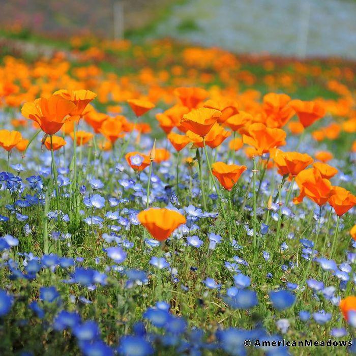 Native Pacific Northwest Wildflower Seed Mix Wildflower Seeds