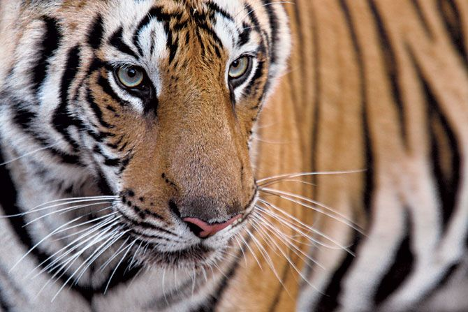 Amazing close up of tiger in the wild.  endangered-tigers-140102-06-steve-winter-670x440.jpg (670×447)