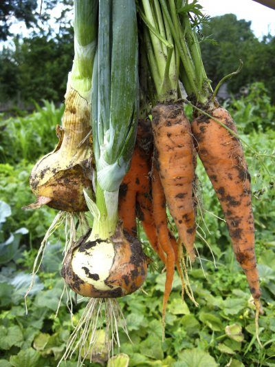 Companion Plants For Leeks: What To Grow Next To Leeks -  Companion plants for leeks help prevent populations of predator insects while enhancing growing conditions. Their strong scent isn't a good combo with every plant, but a few don't mind a little onion breath and make great leek plant companions. Learn more here.
