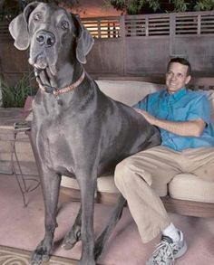 Meet George! He weighs over 245lbs. Guinness World Record Holder for Tallest Living Dog & Tallest Dog Ever.