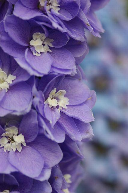 """Delphinium""   [Photo was taken in ""The Kyoto Botanical Garden"" by *nobu*]"