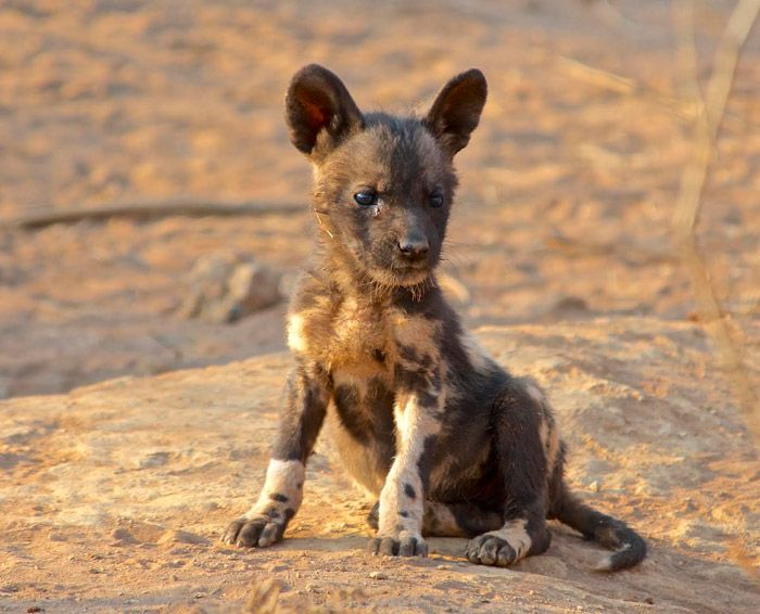 A wild dog puppy in Madikwe Game Reserve