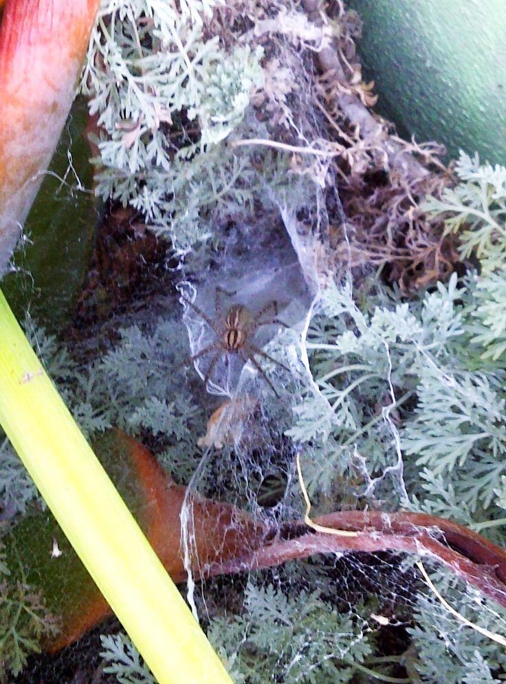Natural+Spider+Killer+#howto+#tutorial
