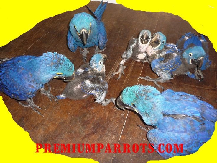 Hyacinth Macaw and Parrots for sale,Babie Macaw for sale