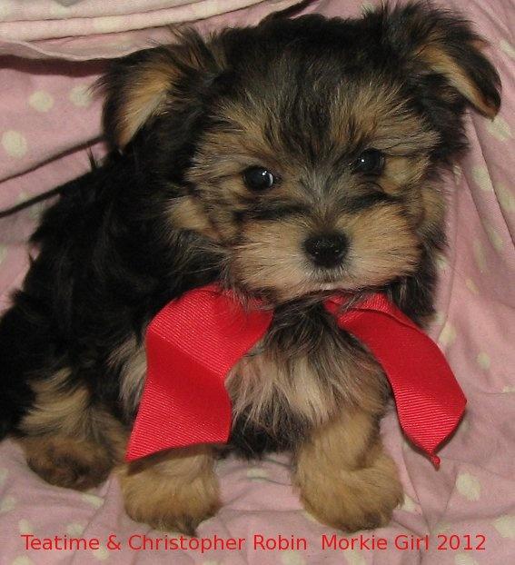 morkie Morkie puppies, Puppies, Morkie