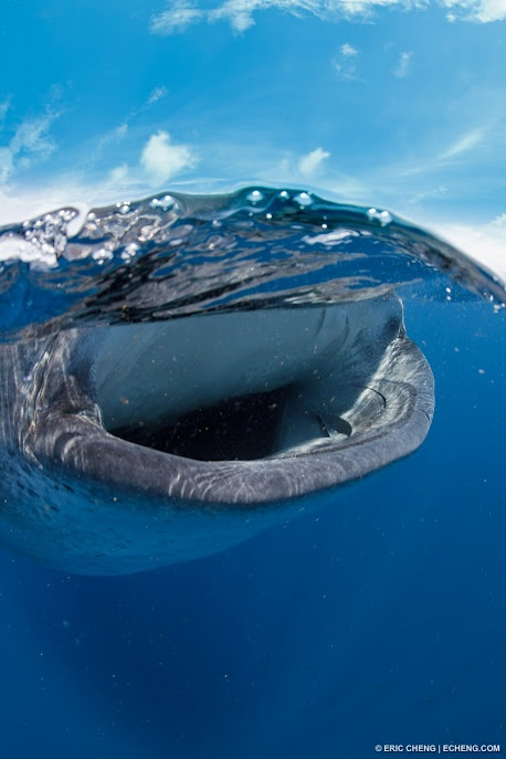 Whale Shark, by Eric ChengAnimal Kingdom, Animals Wildlife