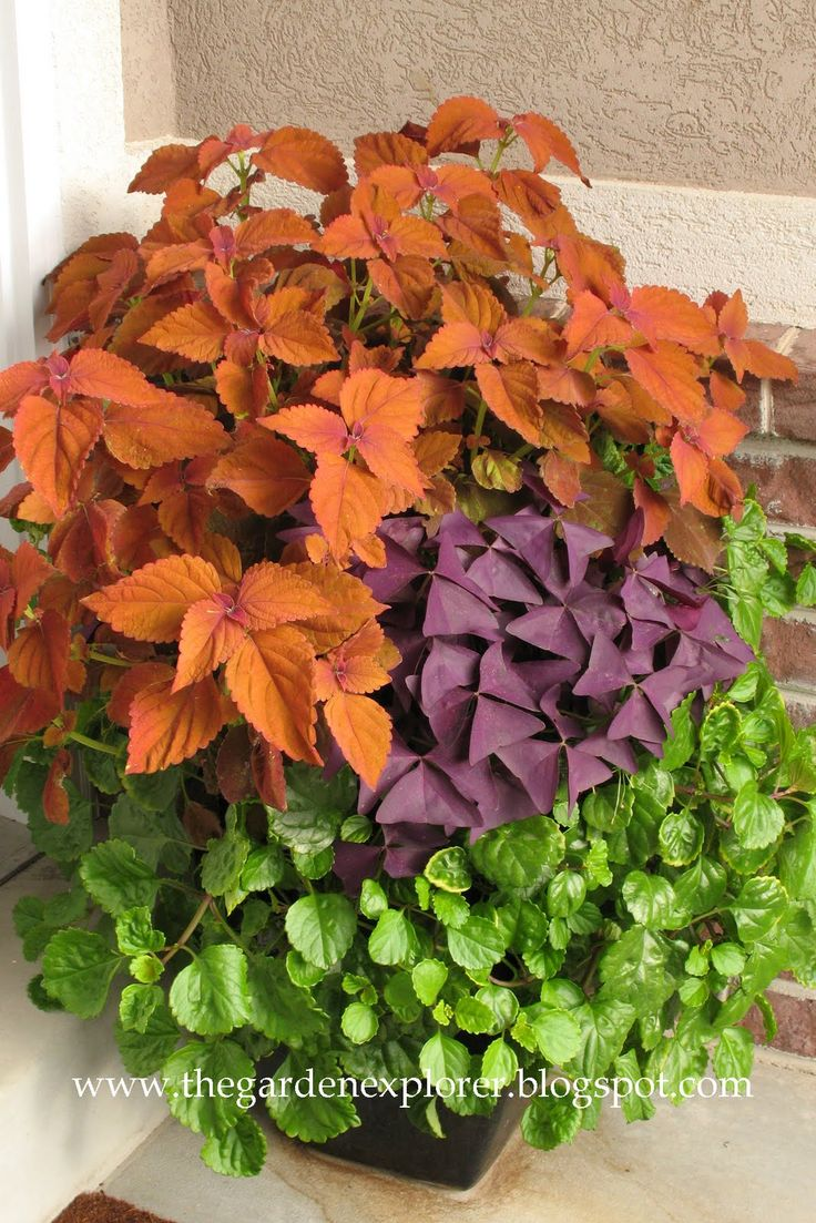 Creeping Charlie, Purple Shamrocks, and orange Coleus  The Garden Explorer: Container Gardening