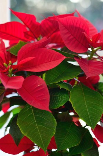 温暖な気候で生まれた植物は、寒さがとっても苦手。冬の寒さなんて味わったことないんですもの。ブーゲンビリアのような南国生まれの植物は、寒さを感じる11月頃~3月頃まで室内で育てるのが基本となります。室内ならどこでもっというわけではなく、乾燥しやすいエアコンの風が直接あたる場所は避けましょう。日光も必要になるから、薄いレースのカーテン越しに日光があたる場所が最適です。ただし、窓辺は夜間冷え込むから、できるだけ夜間は窓辺から移動させてあげるとベスト。暑い夏が大好きなこのタイプは、冬は生育期ではないから、水やりは土が乾いたらでOKです。肥料も与えなくても大丈夫。クリスマスの植物として人気のポインセチアは、実はこのタイプ。屋外のクリスマスアレンジに使いたくなるけど、寒さは苦手だから室内に入れてあげてください。