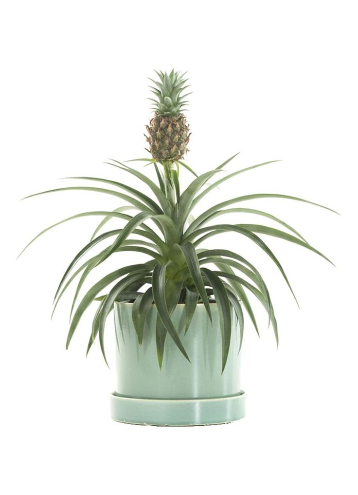 green lifestyle store bromelia ananas champaca plant met. Black Bedroom Furniture Sets. Home Design Ideas
