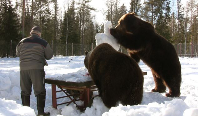 Snow fun: Two bears eat fruit out of a snowman at the sanctuary run by Sulo Karjalainen...See link for more photos